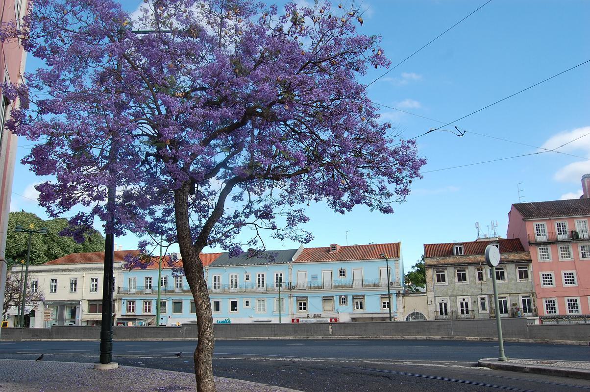 jacaranda Lisbonne