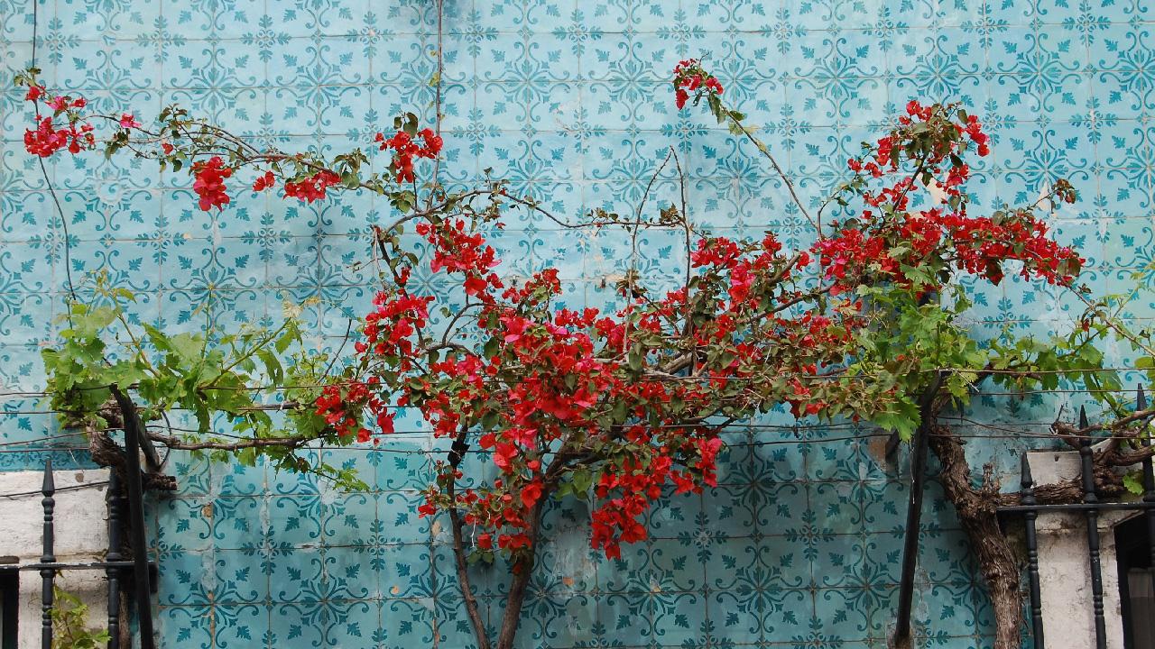 Bougainvilliers et azulejos à Lisbonne