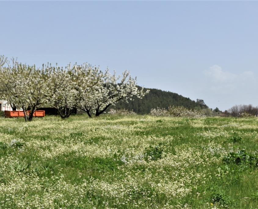 Au printemps éclosion des fleurs de cerisiers à Fundão